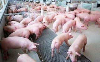Đầu tư - Giá lợn 'nhảy múa', vì đâu nên nỗi?