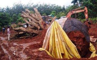 Chính trị - Xã hội - Gia Lai: Lãnh đạo huyện mâu thuẫn khi quyết định 'số phận' 2 cây trâm đỏ