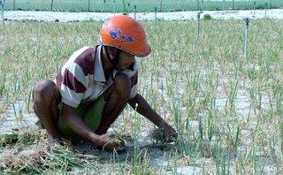 Tiêu dùng & Dư luận - Quảng Ngãi: Mưa lớn, hành thối rữa, nông dân thiệt hại trên 50 tỷ đồng