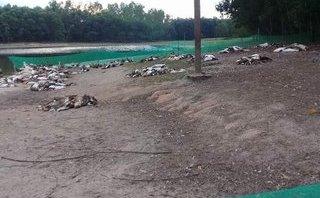 An ninh - Hình sự - Đang làm rõ nghi án đàn vịt gần 1.500 con bị đầu độc, chết hàng loạt
