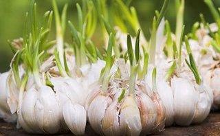 Dinh dưỡng - Công dụng bất ngờ của tỏi mọc mầm ít người biết