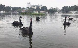 Hồ sơ điều tra - Thả thiên nga xuống Hồ Gươm là khuyết điểm của công ty thoát nước Hà Nội