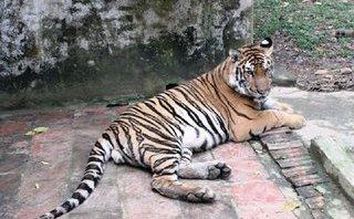 An ninh - Hình sự - Dùng xe Lexus vận chuyển con hổ còn sống nặng 300kg đi tiêu thụ