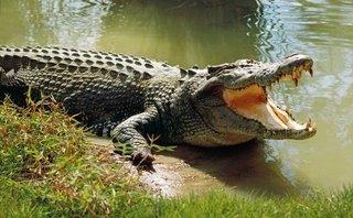Xã hội - Hà Nội: Tung lực lượng rà soát toàn sông Tích truy tìm cá sấu