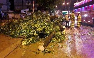 Chính trị - Xã hội - Hà Nội: Xà cừ cổ thụ gãy đổ chắn ngang đường, giao thông tê liệt