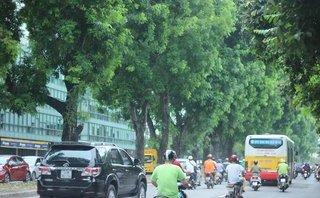 Chính trị - Xã hội - Hà Nội: Ngắm hàng xà cừ cổ thụ sắp bị chặt, chuyển ở đường Kim Mã