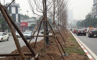Xã hội - Cây phong lá đỏ trồng ở Hà Nội có nguồn gốc từ đâu?