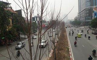 Xã hội - Hàng cây phong lá đỏ trên đường phố Hà Nội có gì lạ?