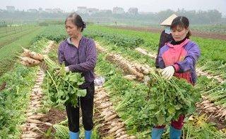 Môi trường - Hà Nội kêu gọi giải cứu hàng nghìn tấn củ cải cho nông dân