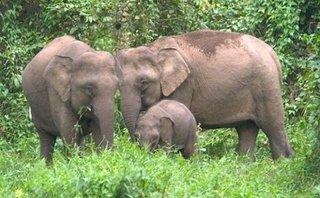 Môi trường - Lên phương án di dời cá thể voi hoang dã tại Sông Mã, Sơn La