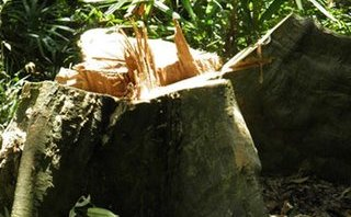An ninh - Hình sự - Xem xét khởi tố vụ án phá rừng quy mô lớn ở Quảng Bình
