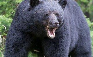 Xã hội - Cảnh báo: Gấu tấn công người dân khi vào rừng lấy lá dong gói bánh