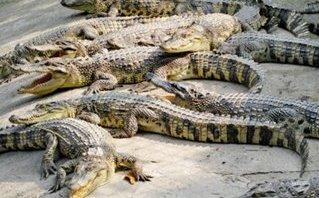 Tiêu dùng & Dư luận - Giá cá sấu bật tăng do Trung Quốc thu mua trở lại