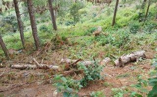 Điểm nóng - Lâm Đồng: Những cánh rừng thông bị bức tử