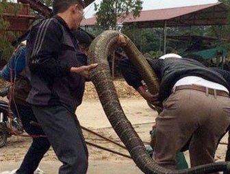 """Xã hội - Con rắn """"khủng"""" nặng 20kg ở Vĩnh Phúc độc tới cỡ nào?"""