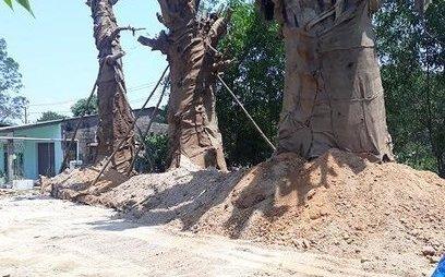 Tin nhanh - 3 cây khủng như 'quái thú' vẫn ở Huế vì chưa có giấy phép hợp lệ