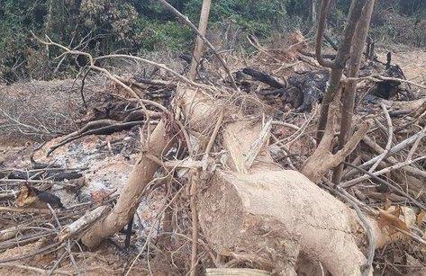 Môi trường - Nghệ An: Rừng tái sinh bị 'xẻ thịt' tan hoang