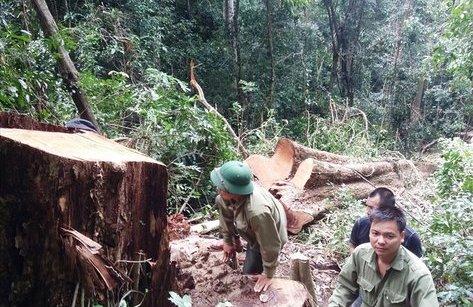 Điểm nóng - Gia Lai: Cận Tết, lâm tặc xông vào phá rừng K'Bang