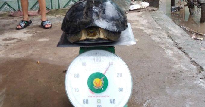 Chính trị - Xã hội - Mục sở thị rùa nặng hơn 10kg người dân miền Tây bắt được