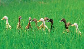 Trưởng phòng cấp huyện bị khởi tố vì để gần 1.000 con vịt cỏ