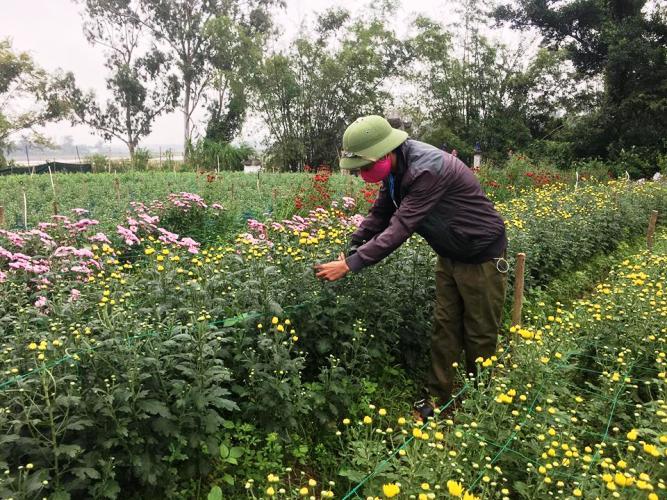 Người trồng hoa ở Lý Trạch không khỏi lo lắng trước nguy cơ mất mùa rớt giá.