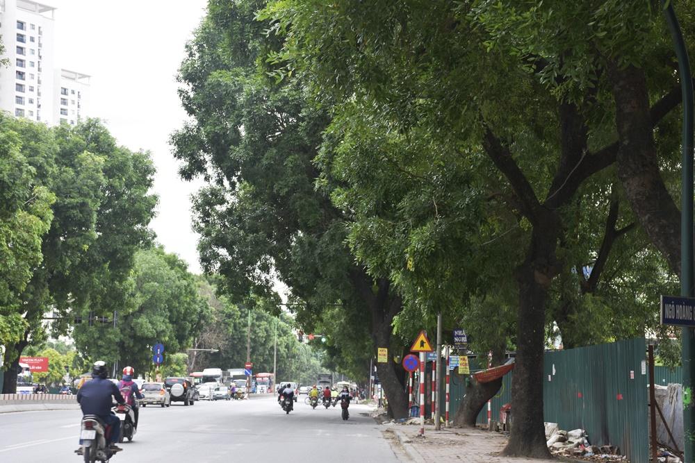 """Chùm ảnh: Hàng cây xanh đường Phạm Văn Đồng trước ngày """"khai tử"""" - Hình 2"""