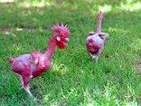 Cộng đồng mạng - Kỳ lạ giống gà lai trụi lông, da đỏ rực như chim phượng hoàng