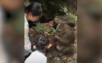Video - Bực tức vì bị trêu đùa, chú khỉ đấm ngã bé gái.