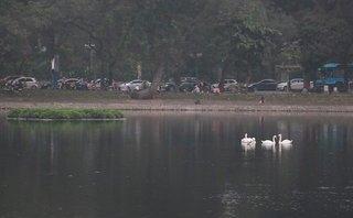 Tin nhanh - Hà Nội: Thiên nga hồ Thiền Quang 'dính' lưỡi câu trộm, phải đi điều trị