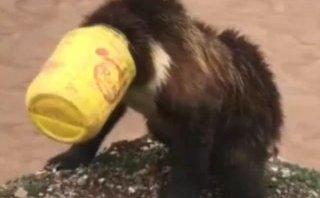 Cộng đồng mạng - Video: Cuộc giải cứu thành công con gấu bị mắc kẹt đầu trong xô