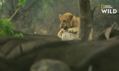 Cộng đồng mạng - Clip: Bị trâu rừng tấn bất ngờ phản công, sư tử hoảng hốt trèo lên cây